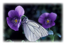 Black-veined White Butterfly (Aporia crataegi)