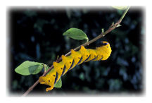 Death's Head Hawk-moth caterpillar (Acherontia atropos)